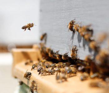 Απεντόμωση - Μέλισσα