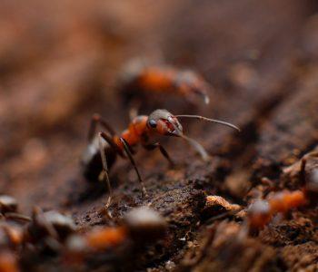 Απεντόμωση - Μυρμήγκι